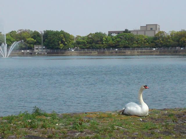 昆陽池の白鳥